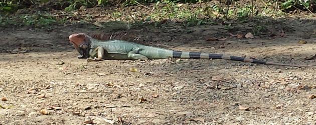 costa-rica-2013-iguana-630x250